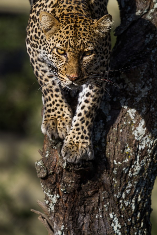IMG_9539-leopard